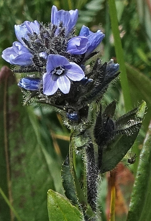 Veronica wormskjoldii