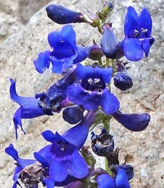 Penstemon mensarum