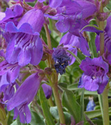 Penstemon hallii