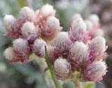 Antennaria rosea (Red Pussytoes)