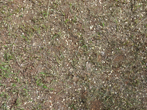 Ulmus pumila myriad of seeds on ground