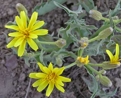 Crepis occidentalis