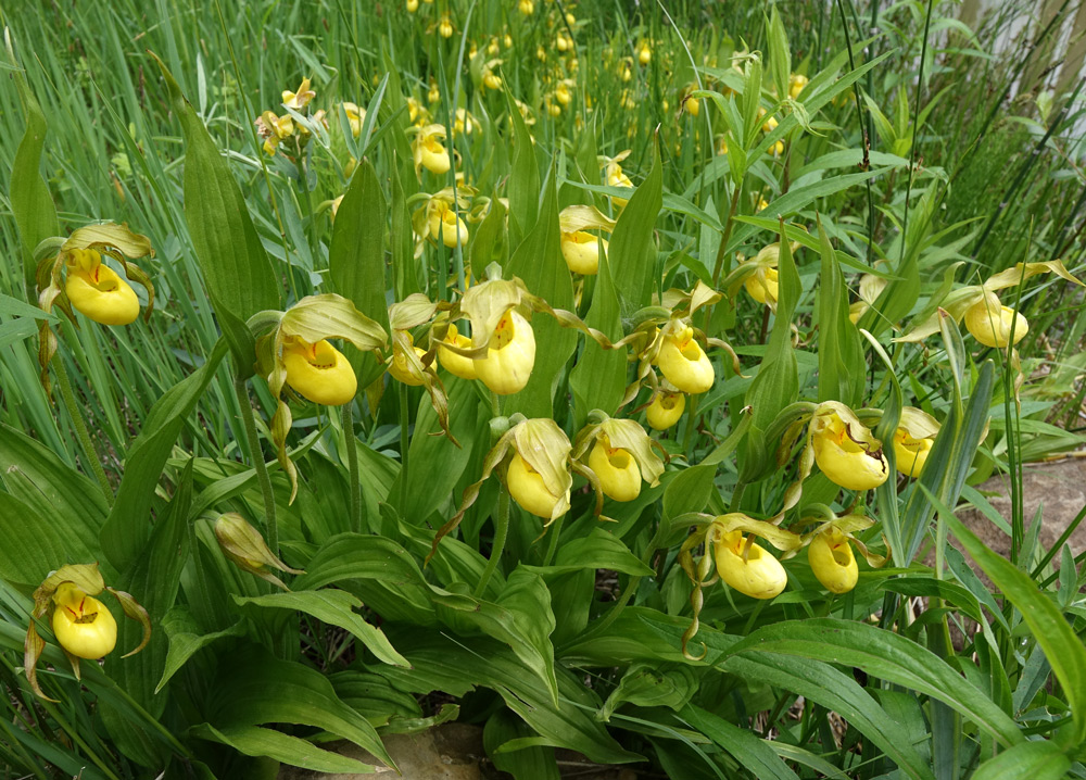 Cypripedium parviflorum variety pubescens
