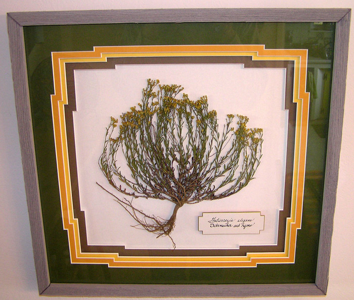 Dried and framed first Gutierrezia elegans discovered